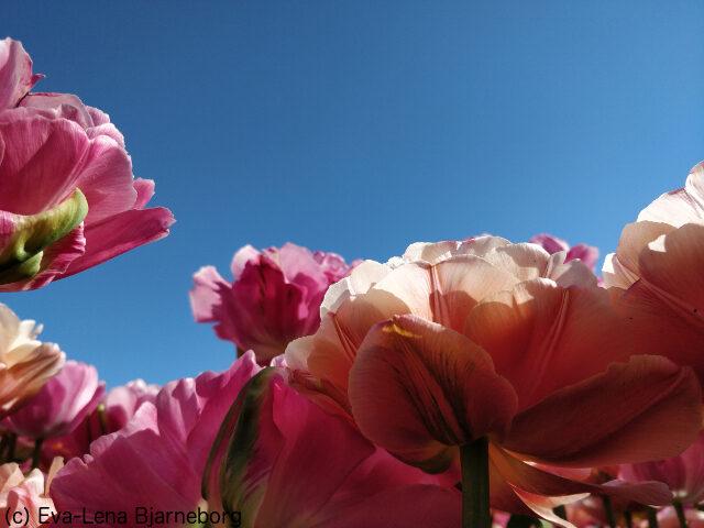 Blommor mot skyn
