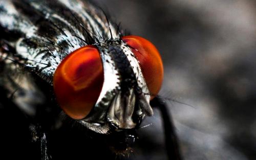 Fluga med stora ögon