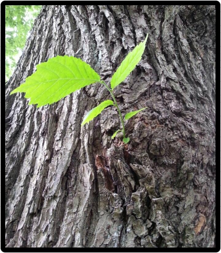 Nytt löv på väg ur trädstam